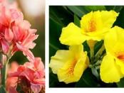 Розовые и желтые канны