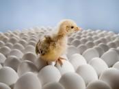 Цыпленок на яйцах